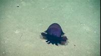 Khám phá biển sâu, phát hiện quái vật không đầu đi bộ kiếm ăn