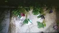 Clip: Xanh mướt thủ phủ lá dong ở thôn Tràng Cát