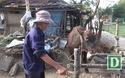 Người dân mong chính quyền cần vào cuộc mạnh hơn để cứu bò lở mồm long móng