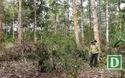 Phú Yên: Tận thu gỗ gãy đổ sau bão, chặt cả cây... không đổ