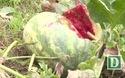 Phú Yên: Dưa hấu bỏ thối đầy đồng vì giá hạ thấp thương lái bỏ chạy không thu mua