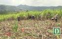 Mong muốn của người dân trồng mía Phú Yên