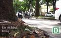 Ngắm hàng cây cổ thụ sắp bị đốn hạ ở Sài Gòn