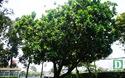 Cây bàng vuông Trường Sa tỏa bóng mát, khoe sắc giữa Sài Gòn