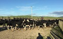 Những cô bò khỏe mạnh trong trang trại tại New Zealand đang được lựa chọn bởi đoàn chuyên gia.