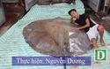 Cận cảnh cá đuối nước ngọt nặng hơn 200 kg ở Hà Nội