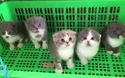 Hái ra tiền nhờ đam mê nuôi mèo cảnh