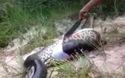 Trăn khổng lồ anaconda trả giá vì ăn thịt đồng loại