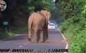 Voi xua đuổi các phương tiện giao thông để giúp cả đàn băng qua đường an toàn