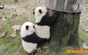 Hành động hai chú gấu trúc con giúp nhau leo cây hết sức đáng yêu