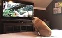 Chết cười cách biểu lộ cảm xúc của chú chó khi xem phim trên TV