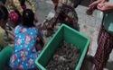 Bắt quả tang bơm tạp chất vào tôm ở Bạc Liêu. (Vd: CVT)