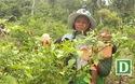 Kiếm tiền triệu từ cây ớt xiêm rừng