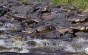 Cá sấu lúc nhúc ở hố tử thần Florida