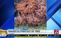 Video rùng mình cảnh đàn rắn nhung nhúc bò ra khỏi cây