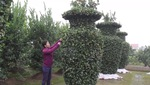 """Vườn quất kiểng"""" Lộc Bình"""" khổng lồ phục vụ dịp Tết Nguyên Đán"""