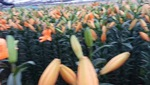 Hoa ly nở muộn khiến người nông dân bị thua lỗ