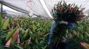 Các hộ nông dân đang tranh thủ thu hoạch hoa ly dù chấp nhận thua lỗ