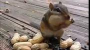Cùng xem cách mà các chú sóc giấu thức ăn trong miệng như thế nào nhé!