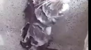 Chú chuột đứng tắm như người ở Peru