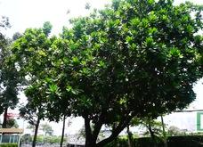 Cây bàng vuông Trường Sa tỏa bóng mát giữa Sài Gòn