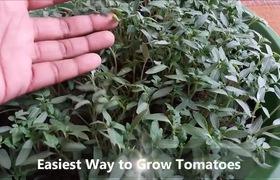 Trồng cà chua từ hạt ngay tại nhà với mẹo siêu dễ này, sau 15 ngày, bạn đã có cả vườn ươm cà chua xanh tốt