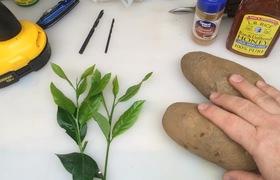 Từ một cành chanh và củ khoai tây, bạn sẽ trồng chanh siêu dễ chẳng mấy mà có cả cây sai trĩu quả