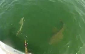 Khoảnh khắc cá mú khổng lồ nuốt trọn cá mập