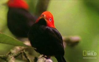 """Kỳ lạ loài chim dùng điệu nhảy huyền thoại của Michael Jackson để … """"tán gái"""""""