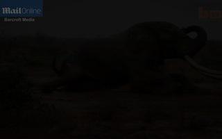 Lực lượng kiểm lâm cứu chữa kịp thời một con voi ngà dài bị bắn thuốc độc