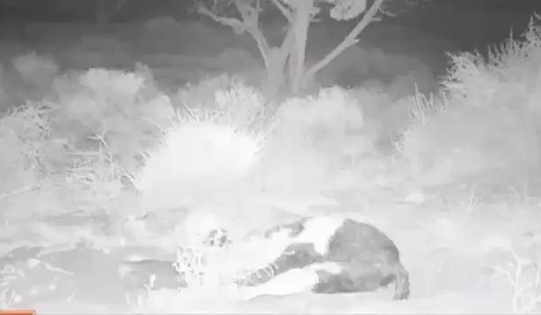 Đặt camera theo dõi xác con bò chết 5 ngày, các nhà khoa học sửng sốt khi thấy điều này