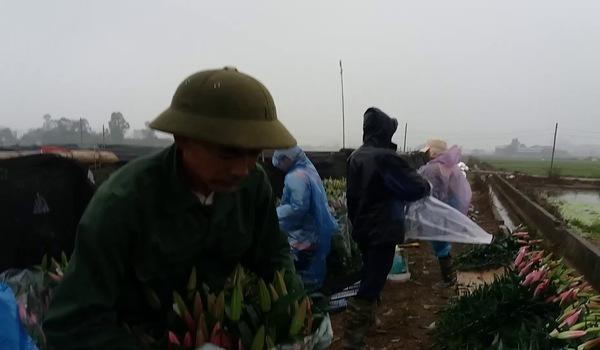 Hộ nông dân trồng hoa ly đang oàn mình thu hoạch để hạn chế thua lỗ