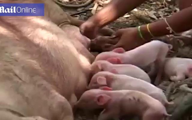 Con lợn sinh ra với hình dáng tinh tinh và một mắt ở giữa trán
