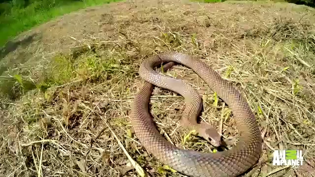 Rắn nâu miền Đông - Loài rắn đáng sợ nhất nước Úc. Video: Animal Planet