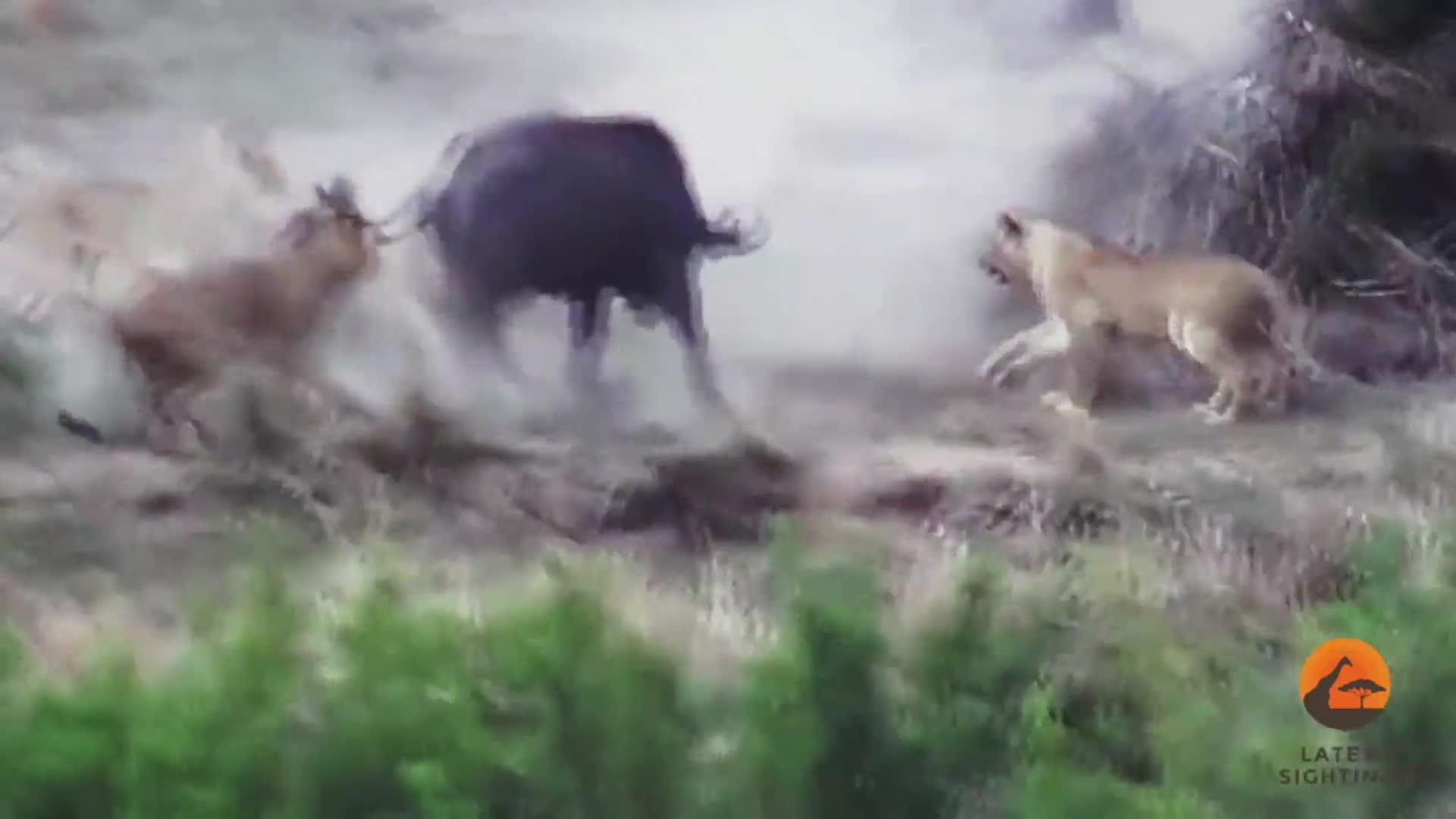 Trâu rừng giải cứu đồng loại khỏi sư tử. Nguồn: Kruger Sightings