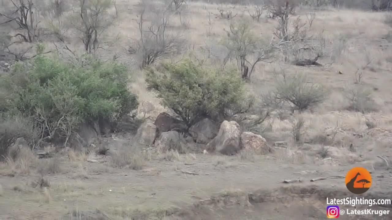 Sư tử đực giải cứu lợn bướu. Nguồn: Kruger Sightings