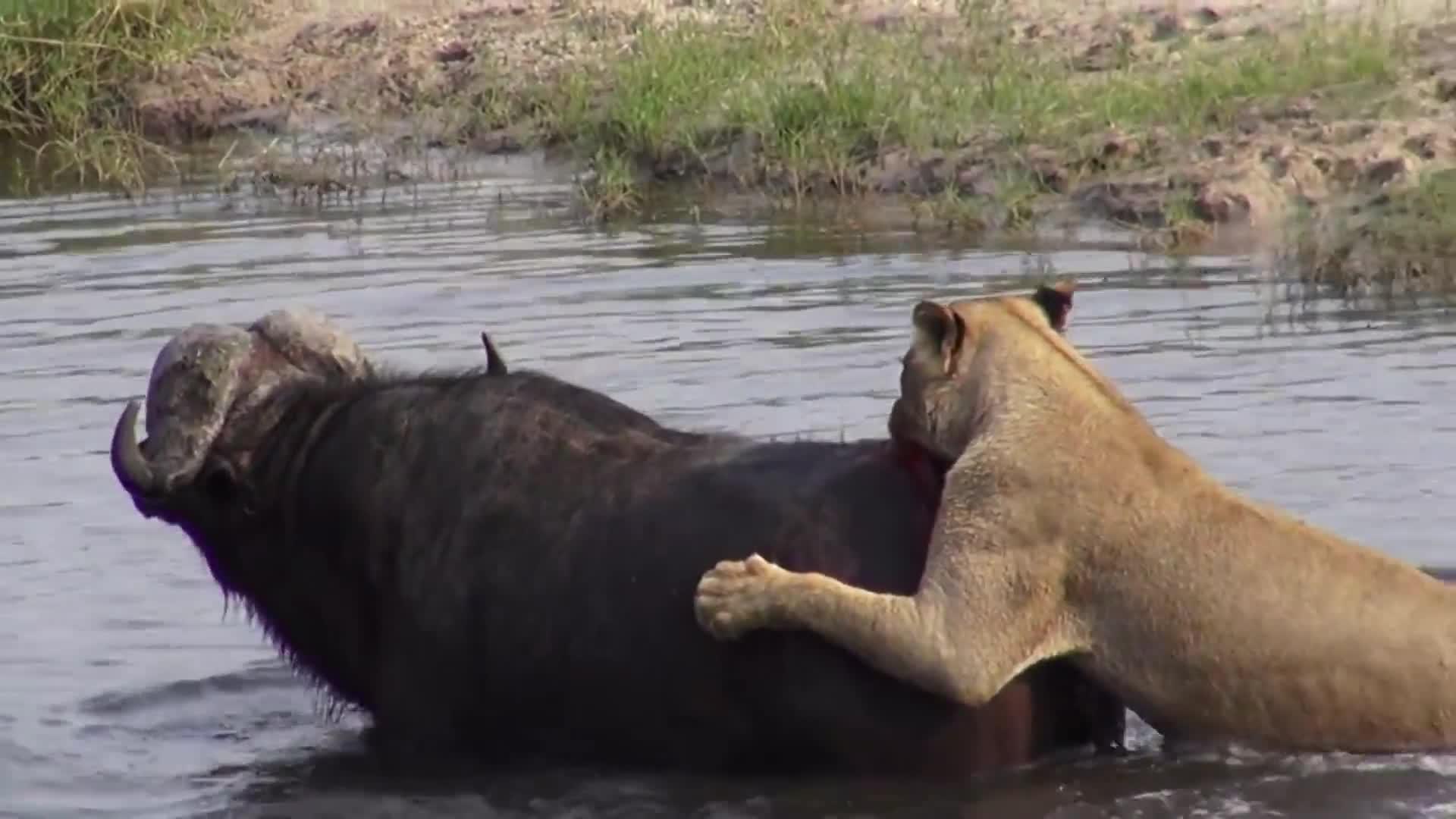 Trâu từng thoát chết giữa 10 con sư tử. Nguồn:  Anand Mani