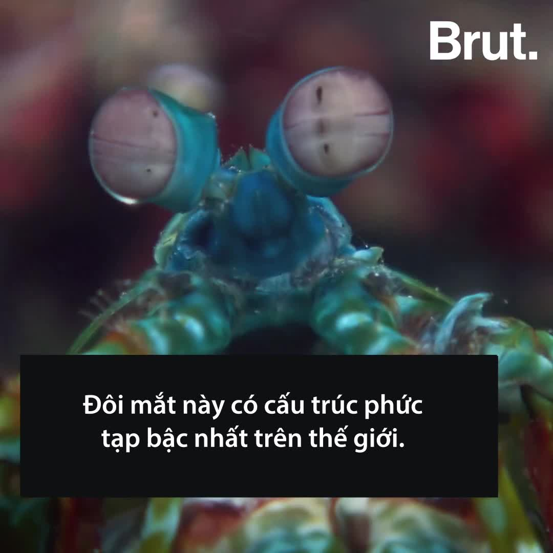 Loài vật có cú đấm uy lực nhất đại dương