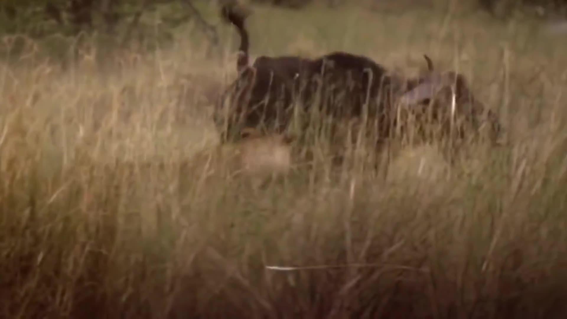 Trâu rừng cứu con khỏi sư tử ăn thịt. Nguồn: Amazing Animal Life