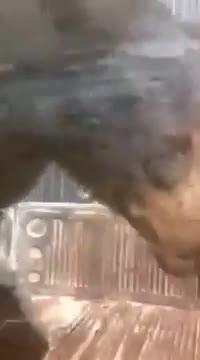 Chú gấu biết bắt xe đi nhờ ở Mexico.