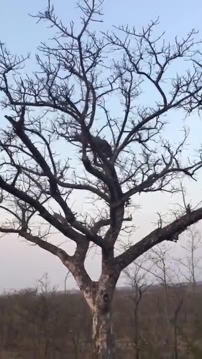 Hai con báo đánh nhau trên cây cao. Nguồn: Daniel Fincham Photography