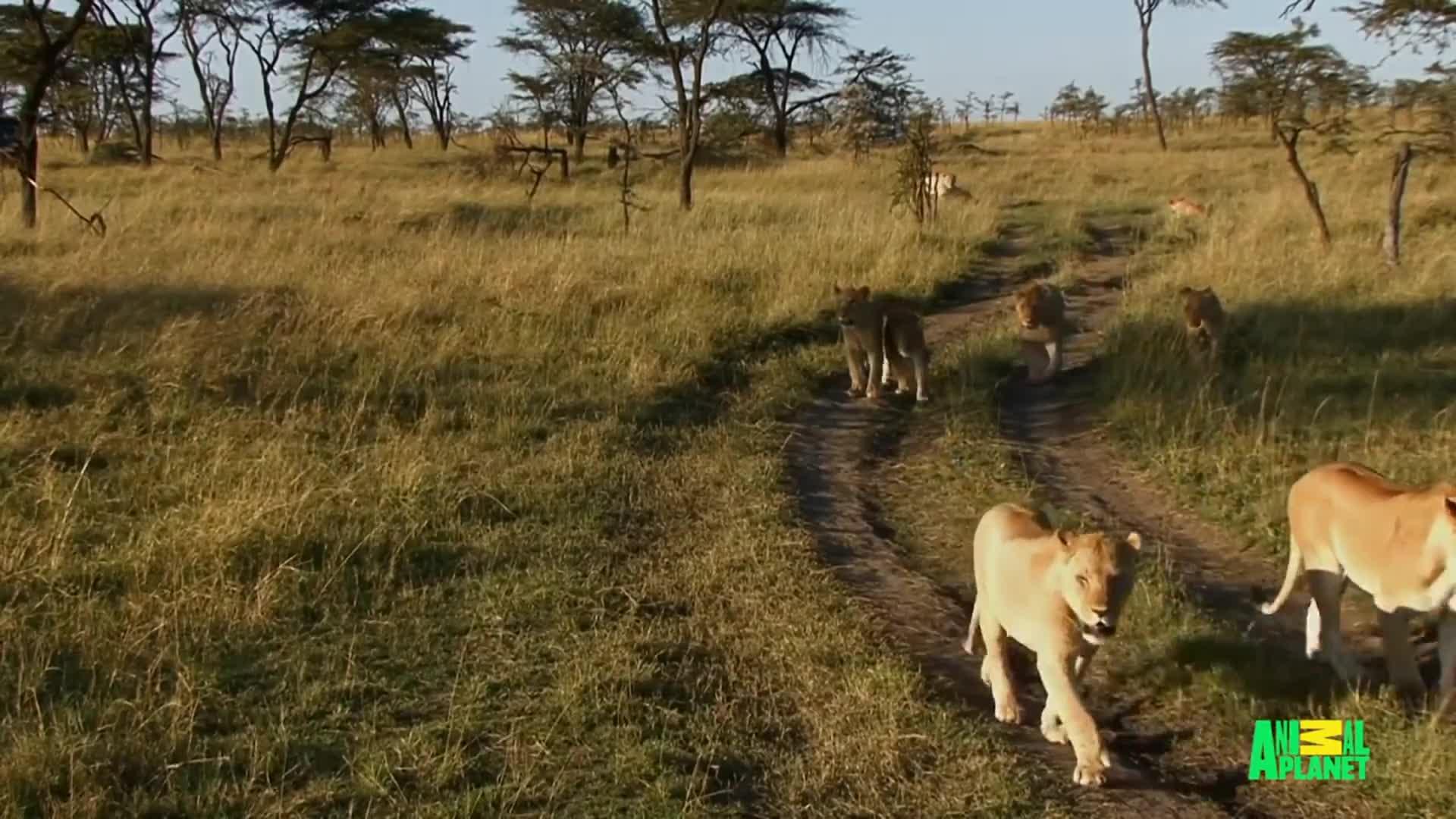 Cầy Mangut một mình đối đầu cả bầy sư tử. Nguồn: Animal Planet