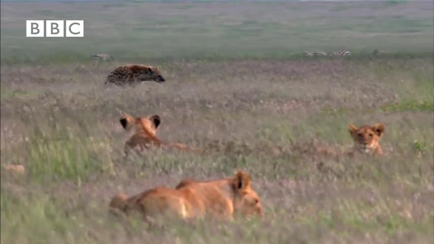 Clip đàn sư tử hợp sức tấn công linh cẩu. Nguồn: BBC.