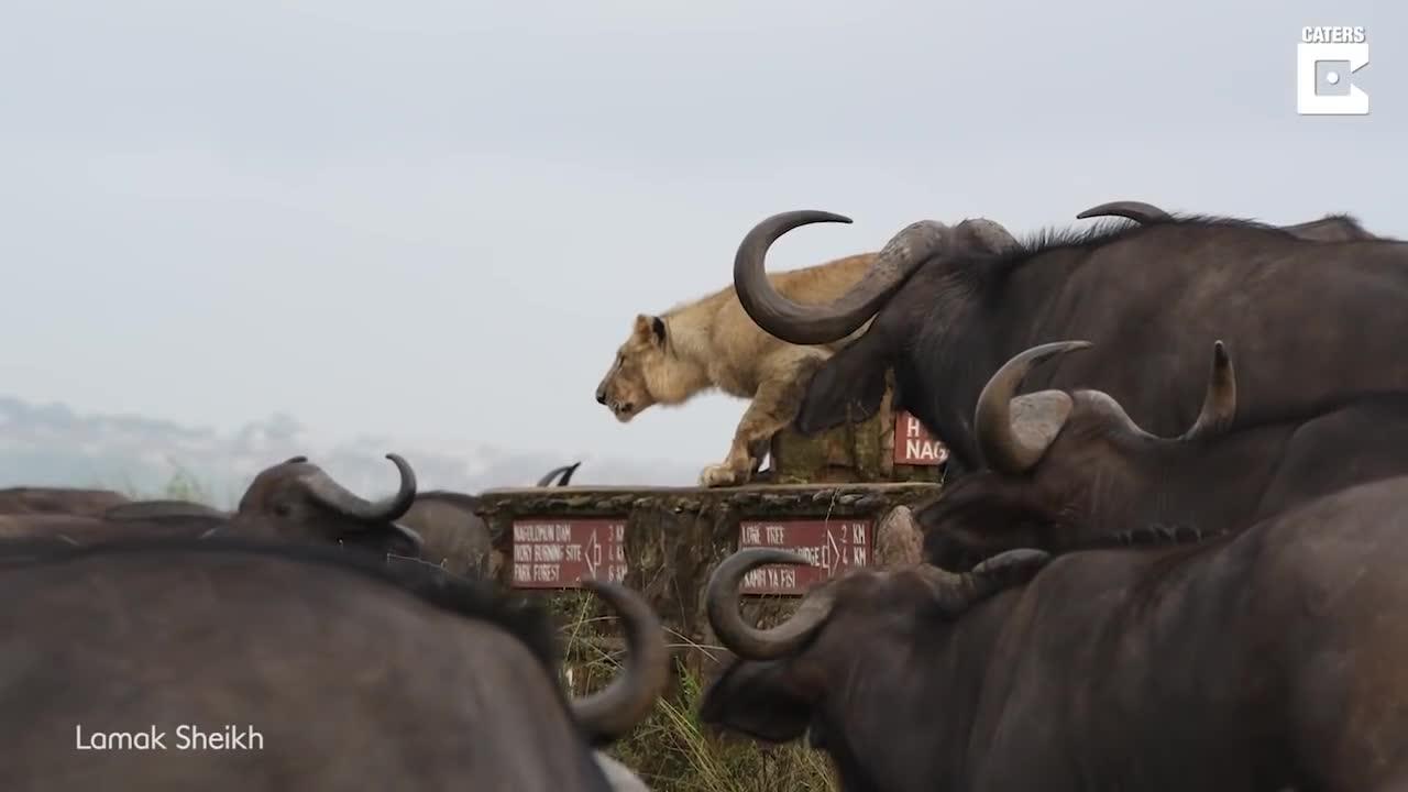 Sư tử trẻ bị dồn đến đường cùng, không dám ho he vì sợ bị bầy trâu đánh chết