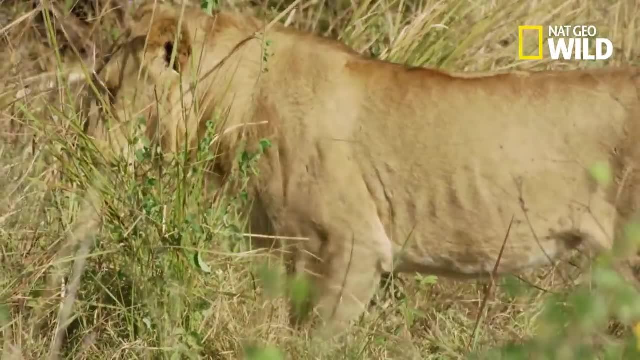 Sư tử bị trâu rừng đánh đuổi. Nguồn: NatGeo