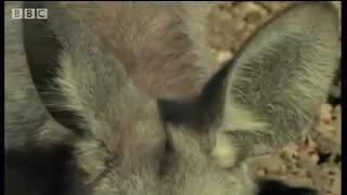 Wallaroo đối đầu tay đôi với chó Dingo. Nguồn: Bbc wildlife
