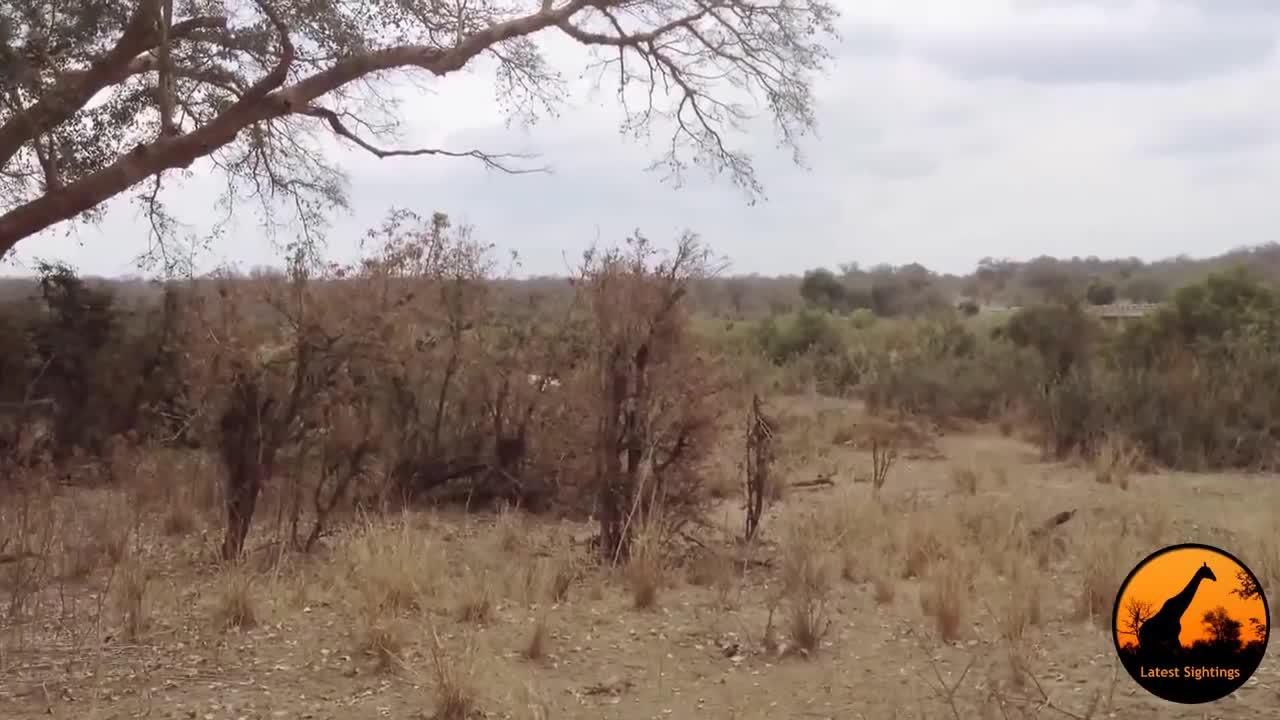Linh dương Kudu nhảy vọt qua xe ô tô để trốn thoát sư tử. Nguồn: Kruger Sightings