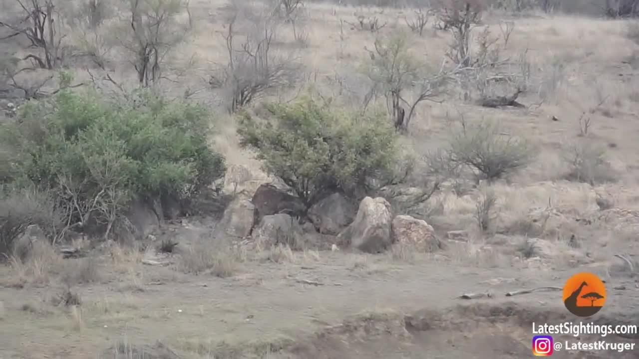 Bị bao vây tứ phía, lớn rừng may mắn sống sót vì sự tham lam vô độ của sư tử đực