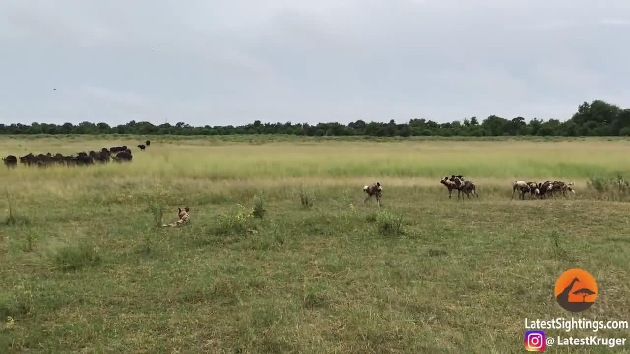 Clip đàn chó hoang sát hại 5 trâu rừng con. Nguồn: Kruger Sightings.