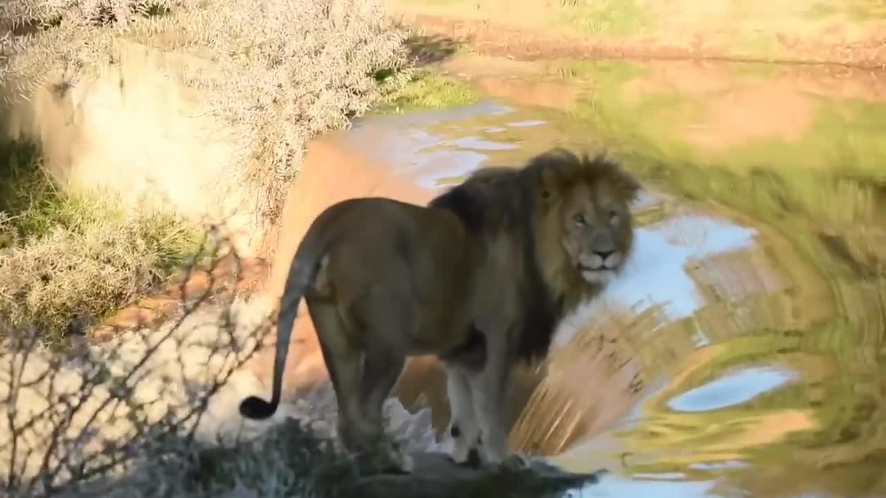 Sư tử đực bị té khi đi qua thác nước. Nguồn: Maasai Sightings